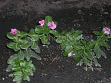 Vinca (major or minor I think Minor)